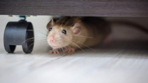 Ratten of muizen in huis of tuin? Zo raak je daar snel vanaf!