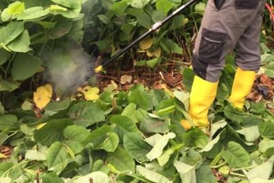 Jaag eens 4.000 volt door een Japanse duizendknoop: agressieve planten worden geëlektrocuteerd in Lier