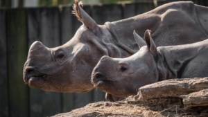 Neushoorn in Planckendael verwacht jong, olifantenstier mag eindelijk bij de vrouwen