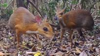 'Uitgestorven' hoefdier na dertig jaar opnieuw gespot