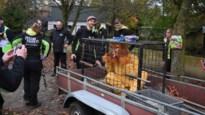 """'Ontsnapte' leeuw in Pakawi Park tijdens noodplanoefening: """"Wanneer een echt dier ontsnapt, reageren we wellicht anders"""""""