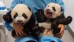Eindelijk: dit zijn namen van babypanda's in Pairi Daiza