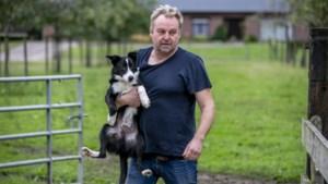 Chris Caerts, de schaapherder van de Kempen: 400 schapen, 15 honden en een B&B