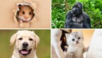 Nieuw systeem om de echte 'mensenleeftijd' van je hond te bepalen: maar hoe zit het met je kat, konijn of een gorilla?