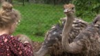 Antwerpse organiseert kinderfeestjes waarbij je struisvogels kan knuffelen