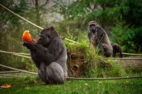 Feest bij gorilla's in Zoo Antwerpen: Mambele verwacht kleintje en Thandie viert verjaardag