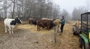 Ontsnapte Nederlandse koe leeft als verstekeling bij Limburgse galloways