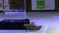 Daar is Toulouse weer! Bekendste kat van Kontich kuiert doodleuk over ijspiste tijdens opening