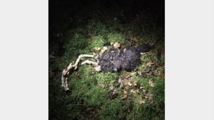 Drie schapen van Kempense boer doodgebeten in weide