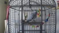"""What the fuck!"": Antwerpse papegaai vloekt er op los"
