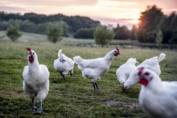 'Hoe oud wordt een kip?' tweede meest gegoogelde hoe-vraag in 2019: wij zochten het uit