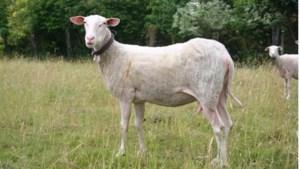 Grazende schapen keren terug naar Jutse Plassen
