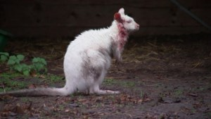 Wolf peuzelt kangoeroe op, maar wat doet een kangoeroe eigenlijk in de Kempen?
