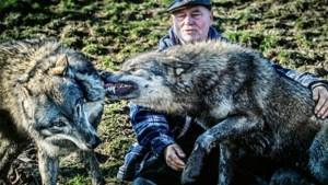 Drie kenners over de terugkeer van de wolf
