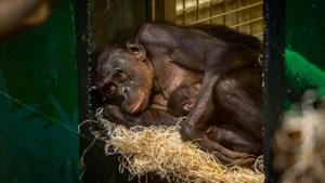 """Bonobobaby geboren in Planckendael: """"Zijn of haar naam begint sowieso met een U"""""""