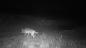 Eerste beelden van wolvin Noëlla: minister voorziet middelen voor preventieve maatregelen