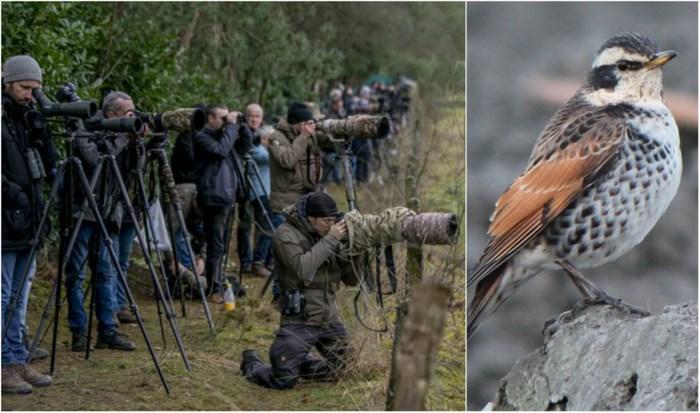 Oud-Turnhout epicentrum voor vogelspotters: bruine lijster voor het eerst in 65 jaar nog eens in Vlaanderen