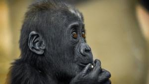 Dierentuinen verwelkomen nieuwe megasoorten: orang-oetans in Planckendael, witte neushoorns in Zoo