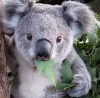 Stabroek adopteert koalabeertje Jimmy