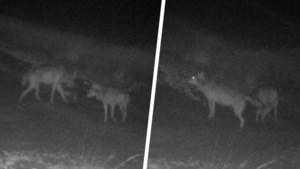 Kans op welpjes steeds groter: wolven August en Noëlla voor het eerst samen gefilmd