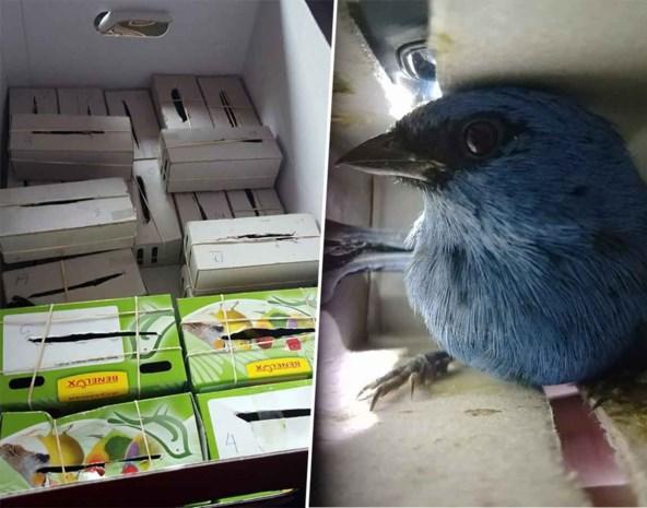 Antwerpenaar opgepakt in Peru met twintig levende vogels in zijn koffer