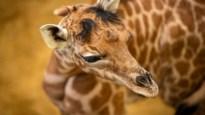 Planckendael verwelkomt babygiraf Valeye, genoemd naar overleden vader