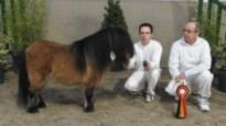 """Puurse pony is de mooiste van het land: """"Jasmin heeft een gouden karakter"""""""