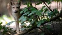 Eerste wolvenwandeling in Zoerselbos