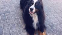 Hond Nalah is al vijf weken spoorloos