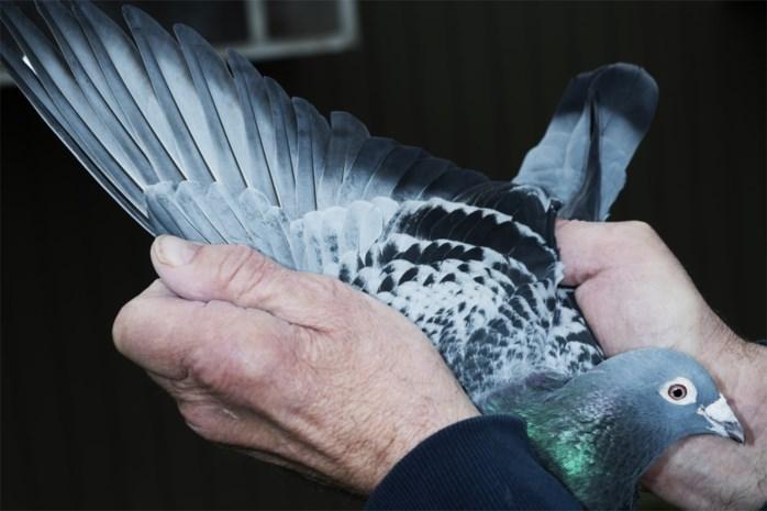 Lier voert strijd tegen wilde duiven met anticonceptiekorrels
