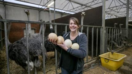 """Onze man experimenteert met struisvogeleieren: """"Het resultaat is altijd net iets luchtiger"""""""
