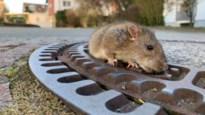 """Buurtbewoner ziet ratten als """"vrienden"""", maar zorgt voor heuse plaag"""