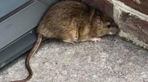 Wegenwerken op kruispunt Dorpsstraat jagen ratten de straat op