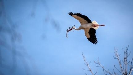 Vroege vogels: eerste ooievaars maand vroeger dan verwacht gespot in Planckendael