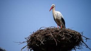 Eerste ooievaars maand vroeger neergestreken in Planckendael, park plaatst ook nestplatformen in De Zegge