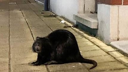 """Beverrat op straat gespot door shopper: """"Ik dacht eerst dat het een kat was"""""""