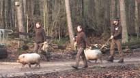Twee tamme varkens gedumpt in Prinsenpark in Retie