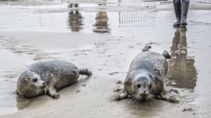 Steeds vaker zeehonden in Antwerpse haven en daarom moeten medewerkers opvangcentrum op cursus om hen te helpen