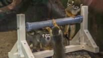 Verrassing voor dieren in Pakawi Park: leerlingen bedenken origineel speelmateriaal