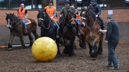 """Tweede partij trekpaardenvoetbal zet sport verder op kaart: """"Als de bal in het vizier komt, prikken de oortjes al naar voor"""""""