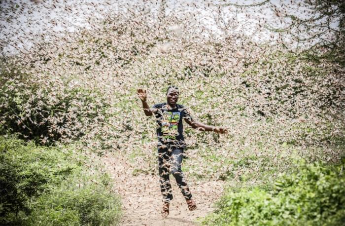 De tijd dringt: als de sprinkhanenplaag nu niet gestopt wordt, dreigt ongeziene hongersnood