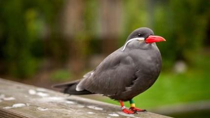 Twee ontsnapte exotische zeevogels zijn terug in Planckendael