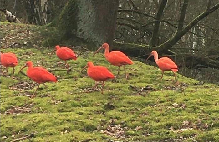 """Planckendael is nog altijd 30 exotische vogels kwijt: """"Ze zijn zo moeilijk te vangen"""""""