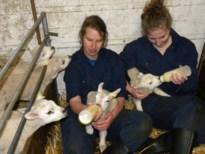 Alle hens aan dek bij schapenboeren door piekdagen lammerseizoen