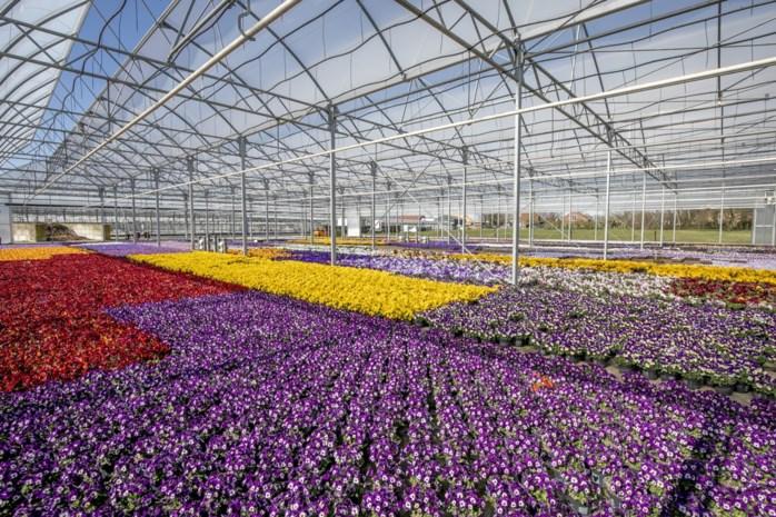 """Honderdduizenden bloemen en planten richting vuilnisbak: """"Dit zou einde verhaal kunnen zijn voor mijn bedrijf"""""""