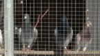 Stabroekse duivenmelkers organiseren virtuele wedstrijd