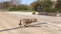 Nieuwe wolf steekt als allereerste Albertkanaal over en komt duidelijk in beeld