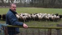Kempense schaapherders hebben geen schrik van de nieuwe wolf