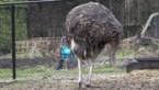 Struisvogels ziek door rattengif: dierenhater actief in Wuustwezel