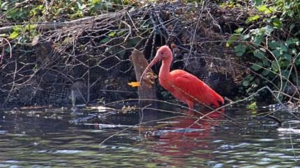 Exotische rode ibis in Rivierenhof is een van de 'ontsnapten' van Planckendael